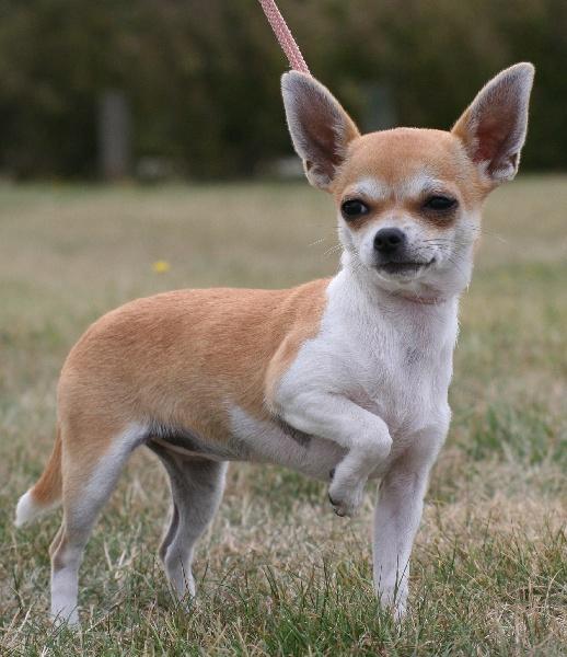 Les Chihuahua de l'affixe des contes de Varmos