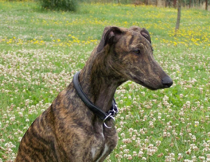 Le Standard de la race Greyhound sur Atara.com