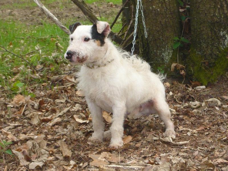 Les Jack Russell Terrier de l'affixe Du domaine de riboulon