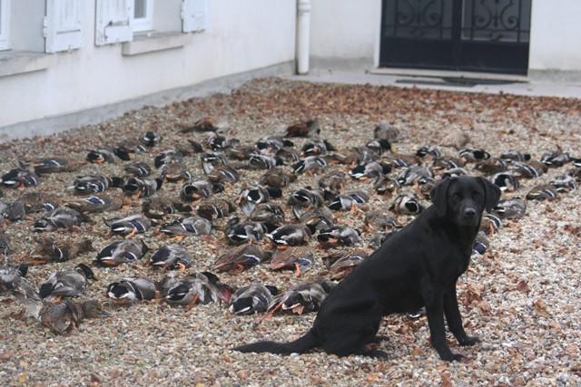 Les Labrador Retriever de l'affixe Du domaine de fayet