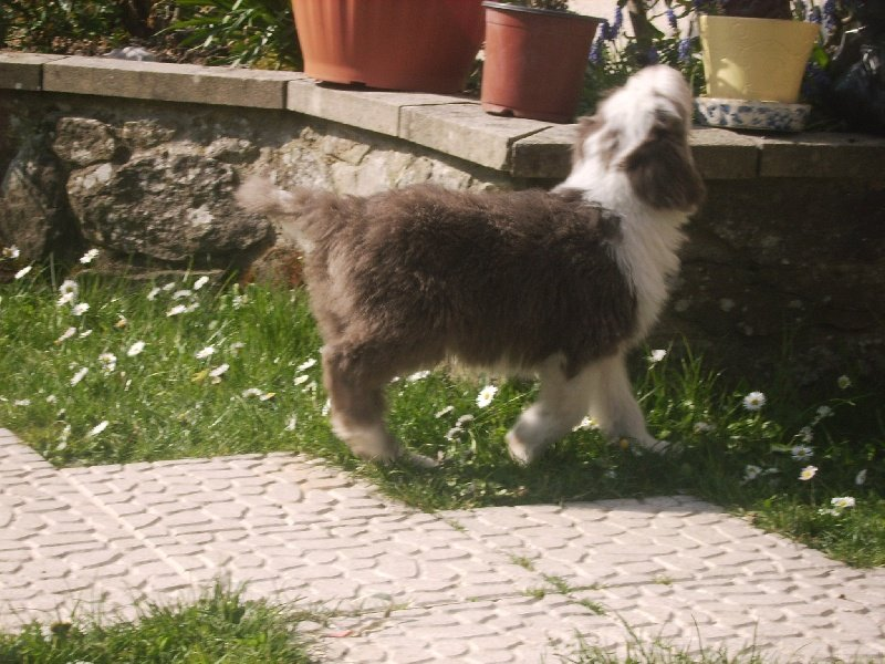 Le Standard de la race Bearded Collie sur Atara.com