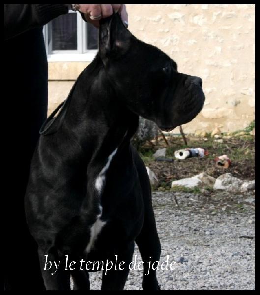 Les Cane Corso de l'affixe Des Légions De Sparte