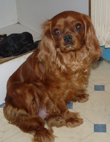 Cavalier King Charles Spaniel - Candice For my dreams