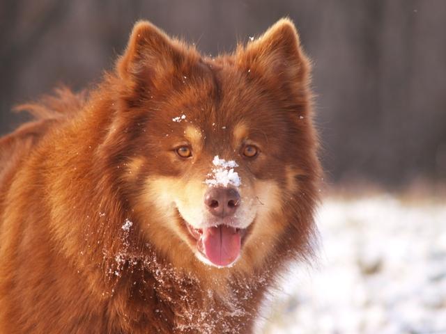 ch ikimuiston varmast finski dit pippin chien de race toutes races en tous departements france. Black Bedroom Furniture Sets. Home Design Ideas