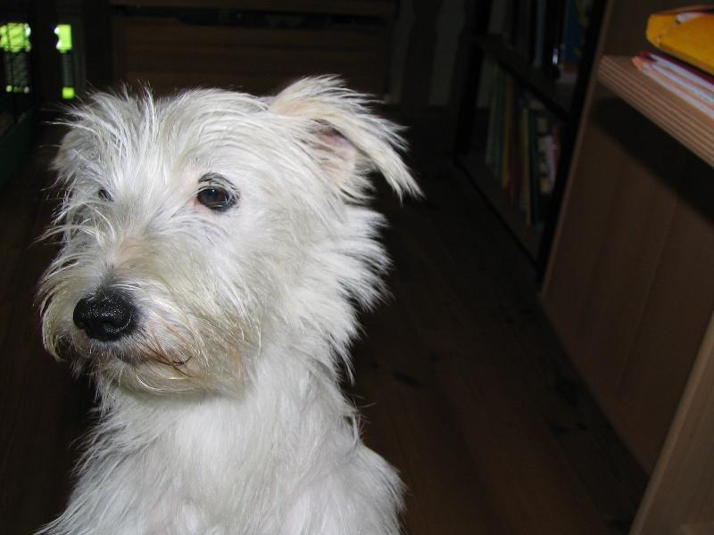 Les Parson Russell Terrier de l'affixe de Torlhak