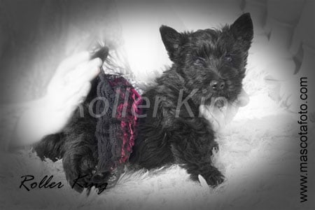 Scottish Terrier - Pucca funny love de Roller King