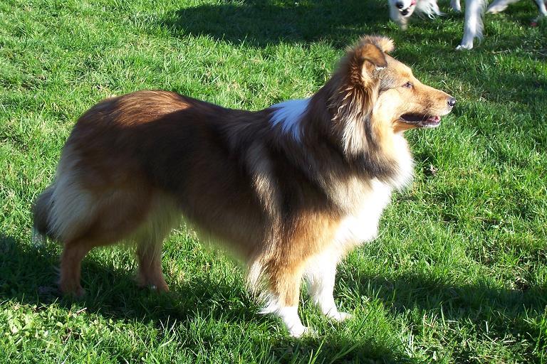 Les Shetland Sheepdog de l'affixe Pathways To Avalon
