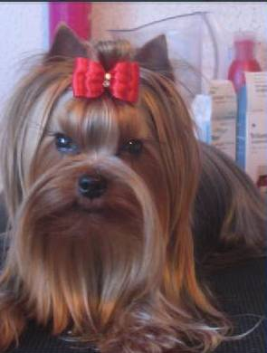 Yorkshire Terrier - estugo's Blue feather