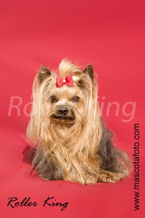 Les Yorkshire Terrier de l'affixe de Roller King
