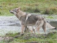 Coyote De la combe noire