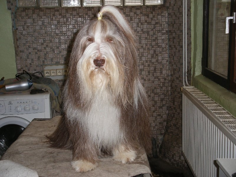 Les Bearded Collie de l'affixe de la Belle t le Clochard