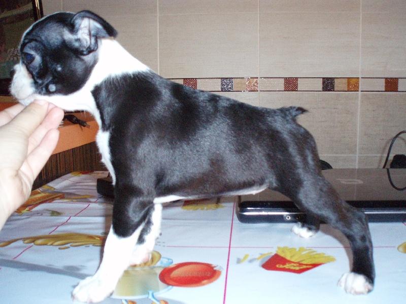 Les Boston Terrier de l'affixe Rayla di Cors