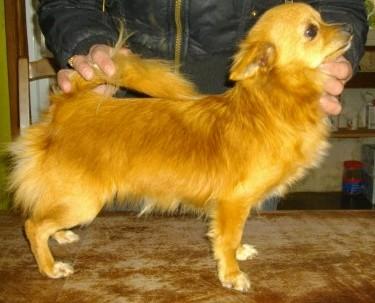 Les Chihuahua de l'affixe De la vallée sacré