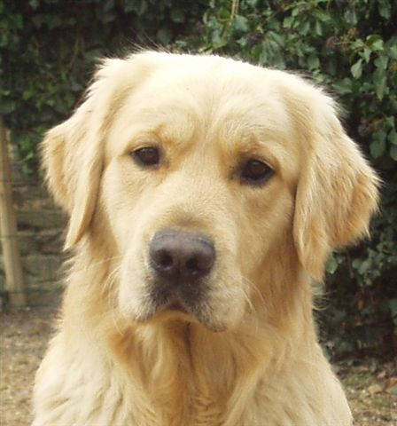 Golden Retriever - And so is love Du bois de la rayere