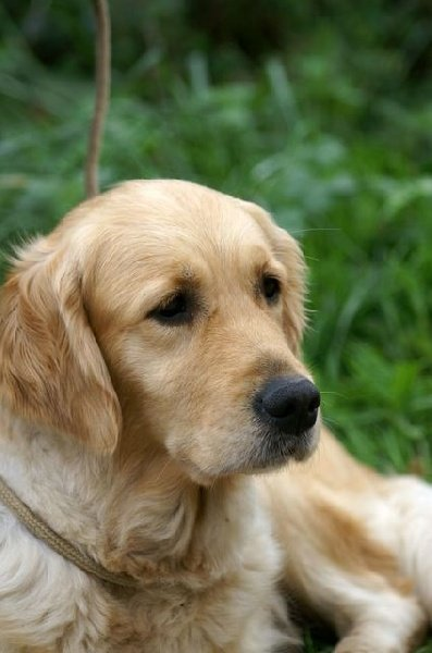 Golden Retriever - CH. TR. Saison douce De l'isle degarde
