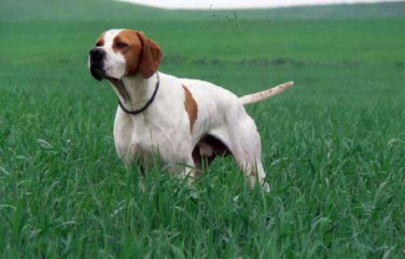 TR. Accro de la Sauvignere chien de race toutes races en