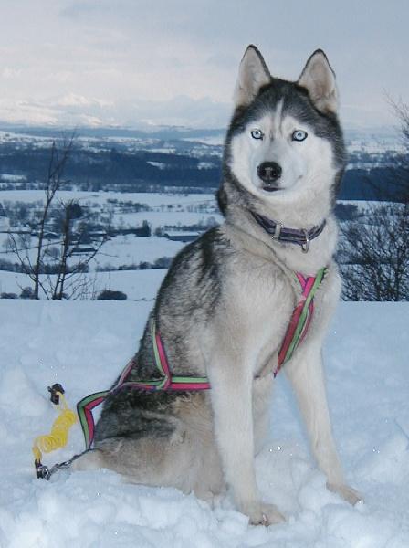 Les Siberian Husky de l'affixe de la Vallee de L'Or Bleu