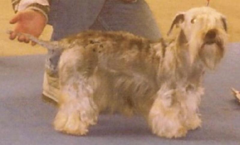 Le Standard de la race Terrier Tchèque sur Atara.com