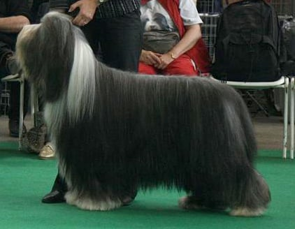 Les Bearded Collie de l'affixe des Emeraudes du Lac