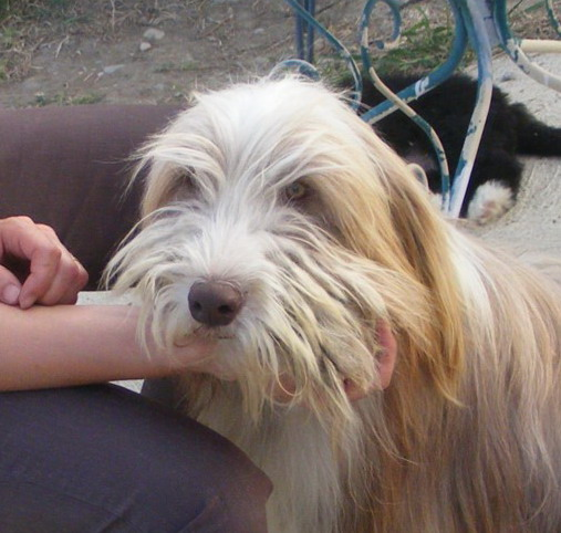 Bearded Collie - Capitoul de L'Ouvernhat