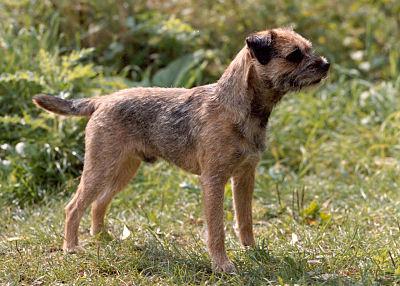 Le Standard de la race Border Terrier sur Atara.com