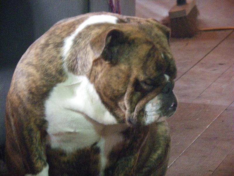 Les Bulldog Anglais de l'affixe des Volkan's Molosses