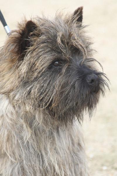Les Cairn Terrier de l'affixe de la Tangi Morgane