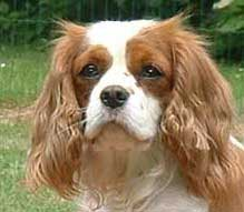 Les Cavalier King Charles Spaniel de l'affixe of misty dreams