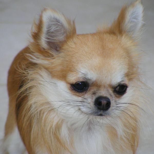 Les Chihuahua de l'affixe du Jardin de Baltazar