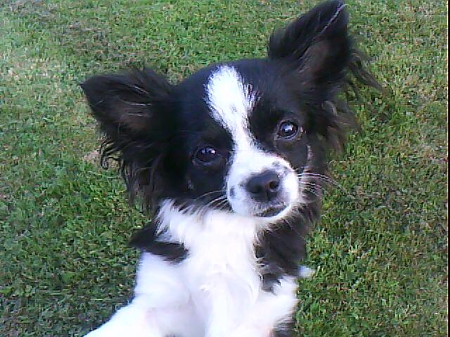 Les Chihuahua de l'affixe des Amys de Appy