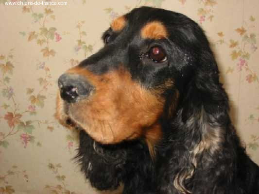 Chien - Elevage du Kreizker - eleveur de chiens Cocker
