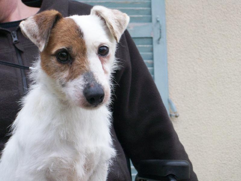 Jack Russell Terrier - Asticoteuse du Domaine de la Clairiere aux Loups