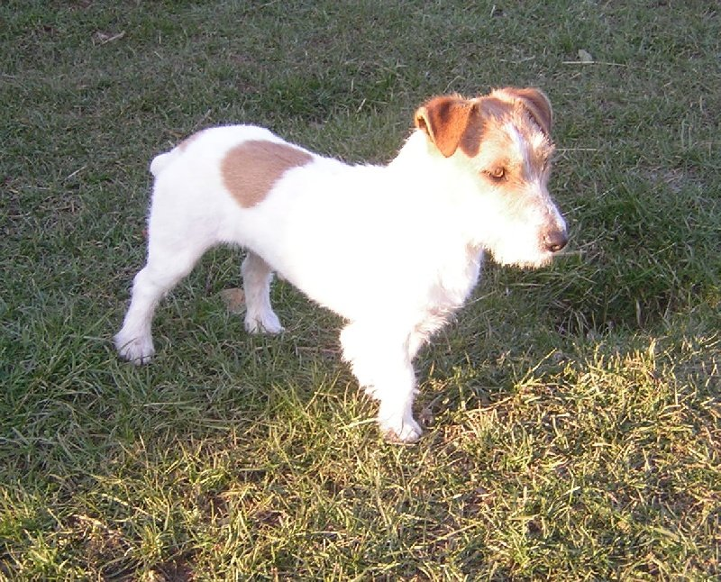 Les Jack Russell Terrier de l'affixe Du logis de beaumanoir