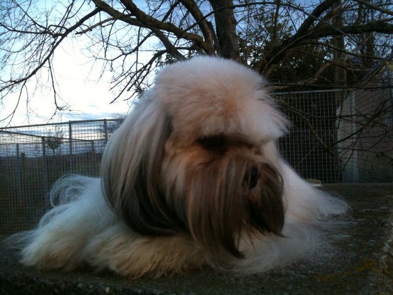 Lhassa Apso - Diamond for ever Del rey rakashi