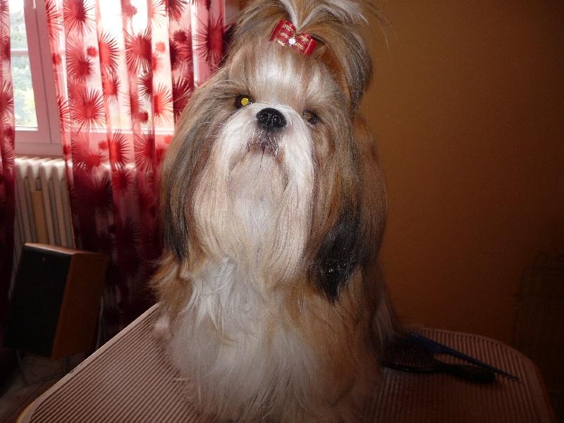 chiens-Shih-Tzu-317569b8-7bcd-9944-0560-296cc5ca9452