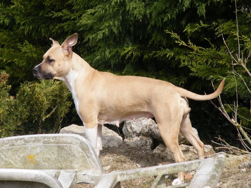 Les American Staffordshire Terrier de l'affixe Du Domaine De Samsha