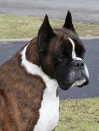 Le Standard de la race Boxer sur Atara.com