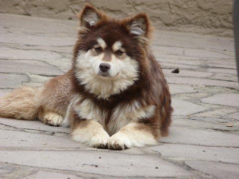 chien elevage du domaine d 39 arinella bianca eleveur de chiens chien finnois de laponie. Black Bedroom Furniture Sets. Home Design Ideas