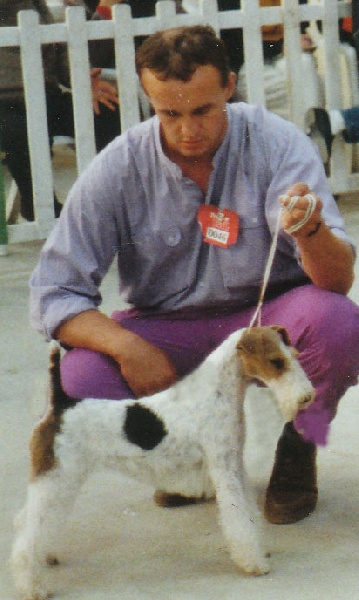 Le Standard de la race Fox Terrier Poil Dur sur Atara.com