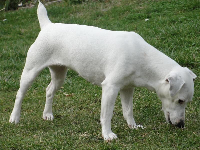 Les Parson Russell Terrier de l'affixe des champs de l'Aisne