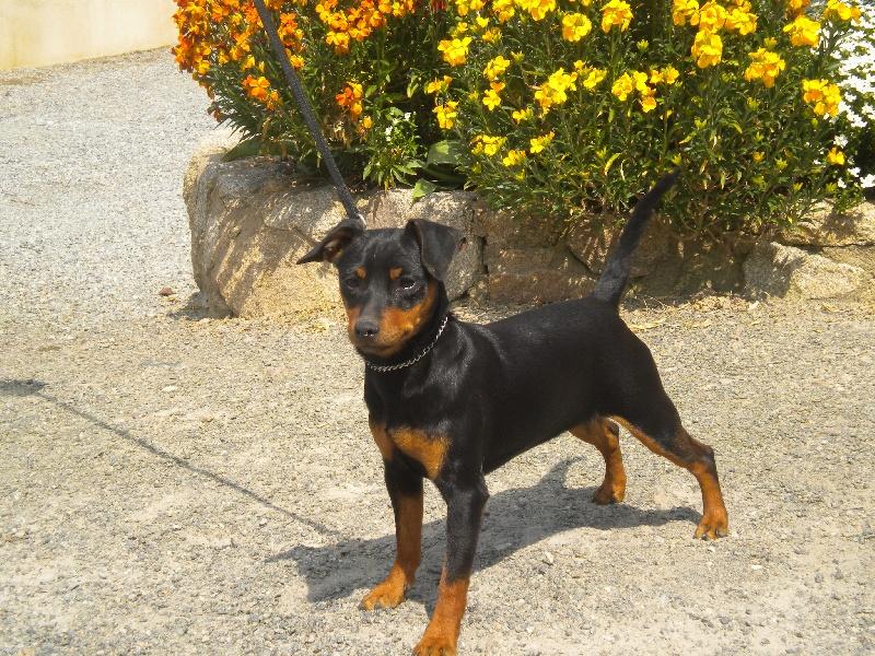 Chien - Elevage Des Pinscheboules - eleveur de chiens