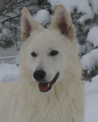 http://www.chiens-de-france.com/photo/chiens/2010_05/chiens-Berger-Blanc-Suisse-97552f02-ff85-c9a4-21c9-81a9ab02caa2.jpg