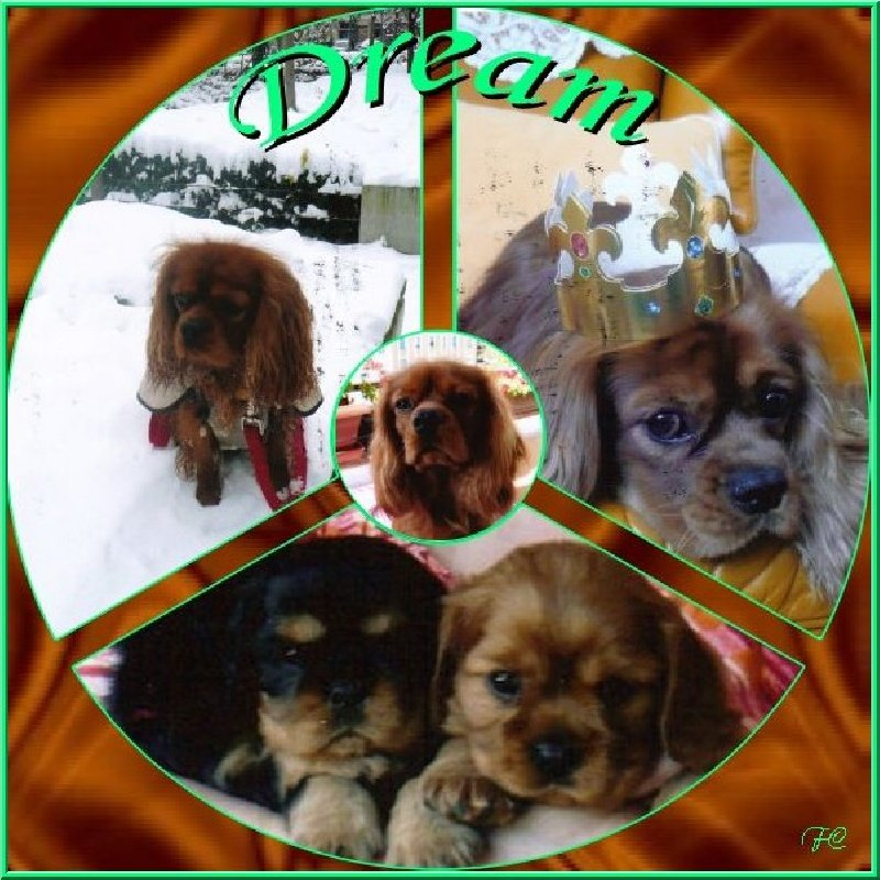 Cavalier King Charles Spaniel - Dream Des Frimousses Calines