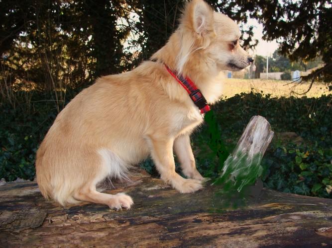 Les Chihuahua de l'affixe de la Messuguiere