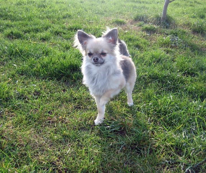 Les Chihuahua de l'affixe du domaine de l'ostrevent