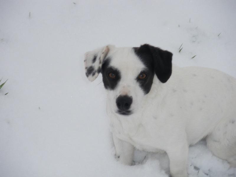Les Jack Russell Terrier de l'affixe De La Fieffe Du Bois