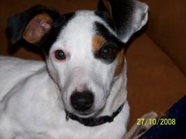 Les Jack Russell Terrier de l'affixe des gardiens de feu