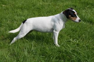 Les Parson Russell Terrier de l'affixe du bois de Morchène