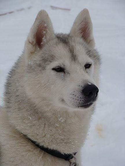 Les Siberian Husky de l'affixe Du Royaume De Pan