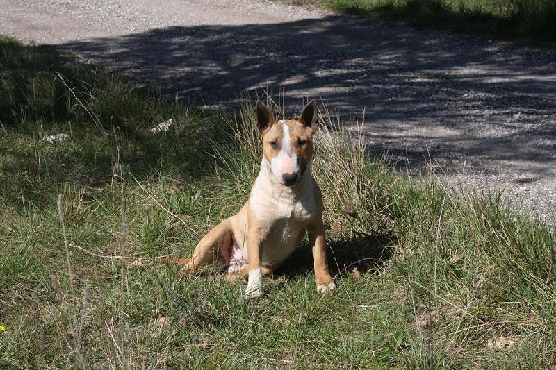 Les Bull Terrier Miniature de l'affixe Du treizieme ange